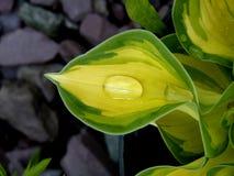 liść kropelkowa wody Zdjęcie Royalty Free