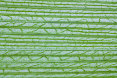 Liść kukurydzana tekstura Obrazy Royalty Free