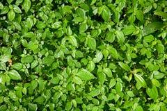 liść lasowa mennica Zdjęcie Royalty Free