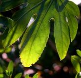 liść lasowy deszcz Fotografia Stock