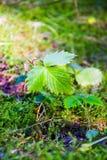 Liść leśne truskawki w lesie fotografia stock