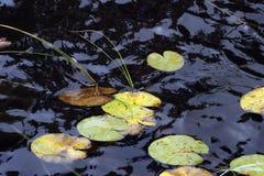liść lily wody Zdjęcie Stock