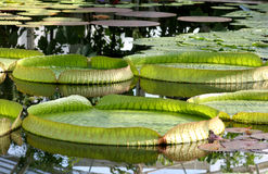 liść lily wody Obrazy Royalty Free