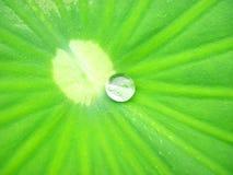 liść lotos Zdjęcie Stock