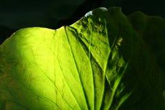 liść lotos Fotografia Stock