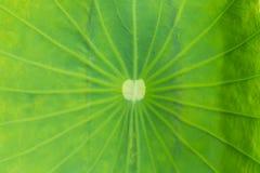 Liść lotos na plenerowym Obrazy Stock