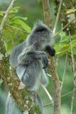 liść małpy srebra Obrazy Stock