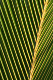 liść macro palma Fotografia Stock