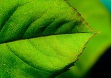 liść makro Zdjęcie Royalty Free