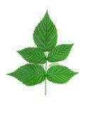 liść malinka Zdjęcie Stock