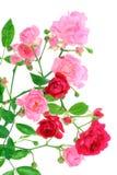 liść menchie wzrastali obraz royalty free