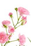 liść menchie wzrastali zdjęcia royalty free