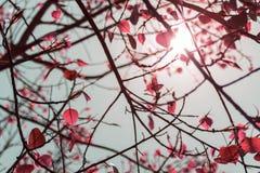 Liść menchii kolor Bodhi drzewo w lecie z t Obraz Royalty Free