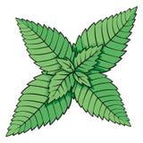 liść mennica royalty ilustracja