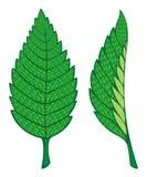 liść mennica ilustracja wektor