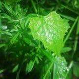 liść mokre Obrazy Stock