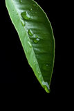 liść mokry Zdjęcia Stock