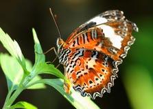 liść motyla Zdjęcia Royalty Free