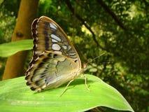 liść motyla obrazy stock