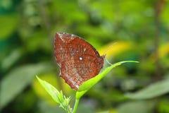 liść motyli liść Fotografia Royalty Free