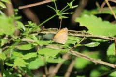 liść motyli liść Obraz Stock