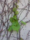 Liść na winogradzie Obrazy Stock