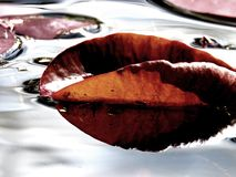 Liść na wodzie Obraz Royalty Free