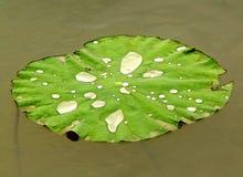 liść nenuphar Zdjęcie Royalty Free