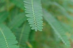 Liść Nucić Ptasiego Sesban Agasta Sesbania grandiflora Agasta Sesban Zdjęcia Royalty Free