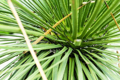 Liść od dasylirion acrotrichum dracenaceae rośliny pustyni od Mexico Obraz Royalty Free