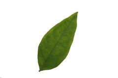 Liść odizolowywa, tekstura zielony liść Obraz Royalty Free