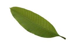 Liść odizolowywa, tekstura zielony liść Zdjęcia Stock