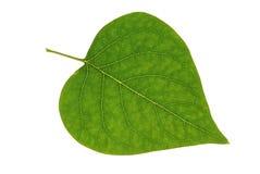 liść odosobniony bez zdjęcia stock
