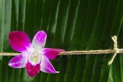 liść orchidea Zdjęcie Stock