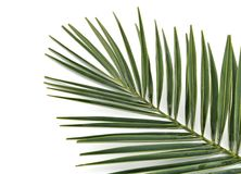 liść palma Obrazy Stock