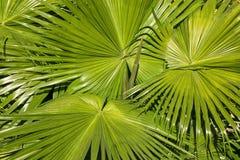 liść palmy wzór Zdjęcia Stock