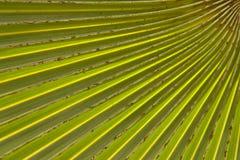 liść palmy wzór Obraz Royalty Free