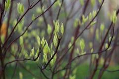 liść pierwszy wiosna Zdjęcia Royalty Free