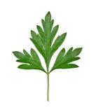 liść pietruszka Obrazy Royalty Free