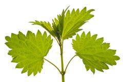 liść pokrzywa Obraz Stock