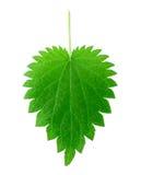 liść pokrzywa odseparowana zdjęcie stock