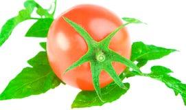 liść pomidor Obrazy Royalty Free