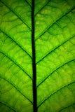 liść roślina Obraz Stock