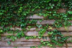 Liść roślina nad drewna ogrodzenia tłem Zdjęcia Stock