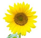 liść słonecznik Obraz Stock