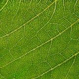 liść słonecznik Obrazy Royalty Free