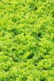 liść sałata Obrazy Stock
