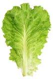 liść sałaty Obrazy Stock