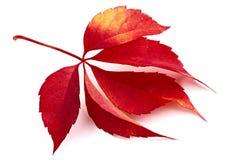 liść spadać czerwień Obrazy Stock