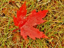 liść spadać klon Obraz Stock